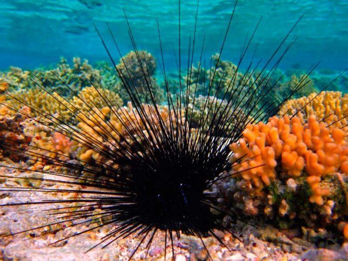 какие полезные вещества содержатся в икре морского ежа