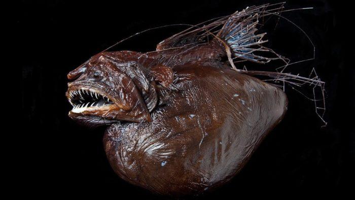 Морской черт или саблезуб