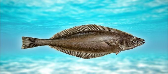 внешний вид рыбы палтус