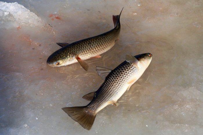 крупные рыбы белингас