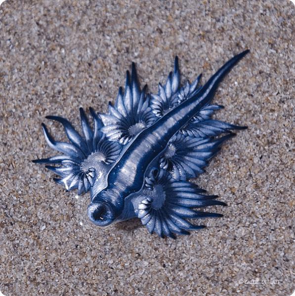 Голубой дракон (Главк)
