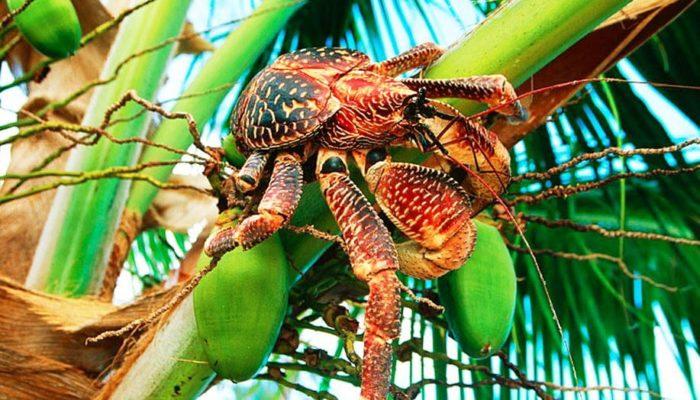 Пальмовый краб