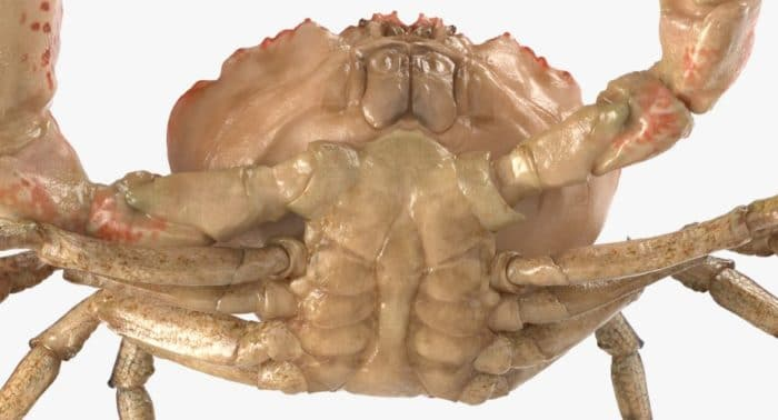 Тасманийский королевский краб