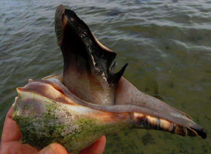 Трубач моллюск