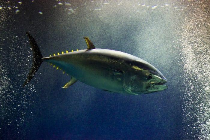 крупнейшая рыба тунец