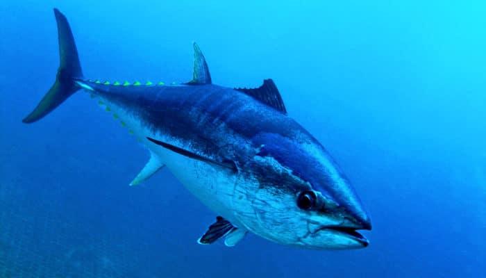 синий тунец развивает скорость до 80 километров в час