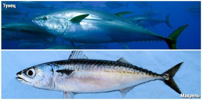 Макрелевый тунец