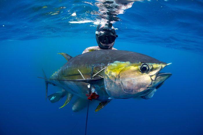 желтый тунец обитает в океанах