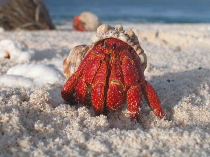 краб отшельник на песчаном берегу