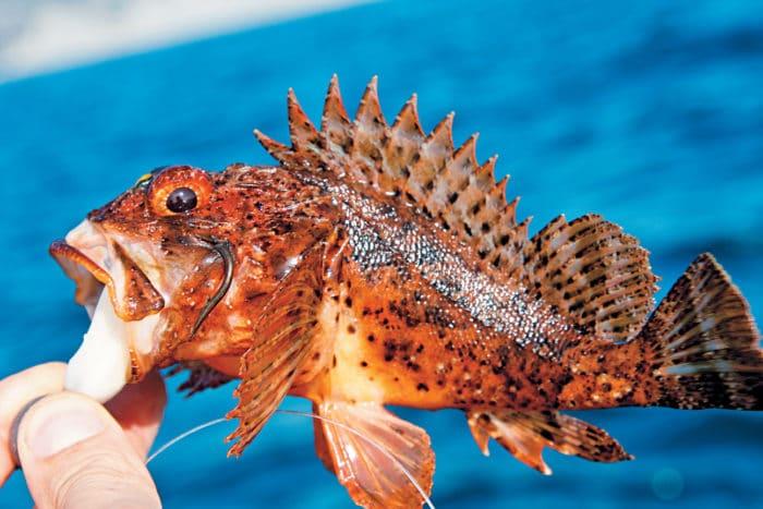 морской ерш пойманный на крючок