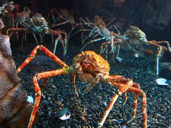 краб паук