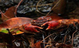 особенности содержания мангрового краба