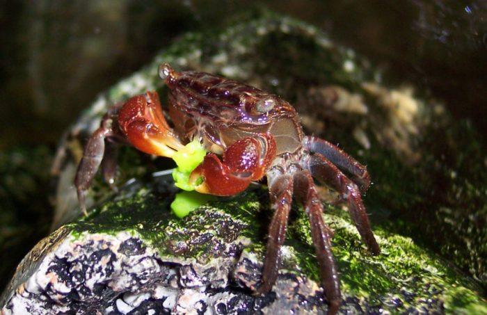 особенности кормления мангрового краба