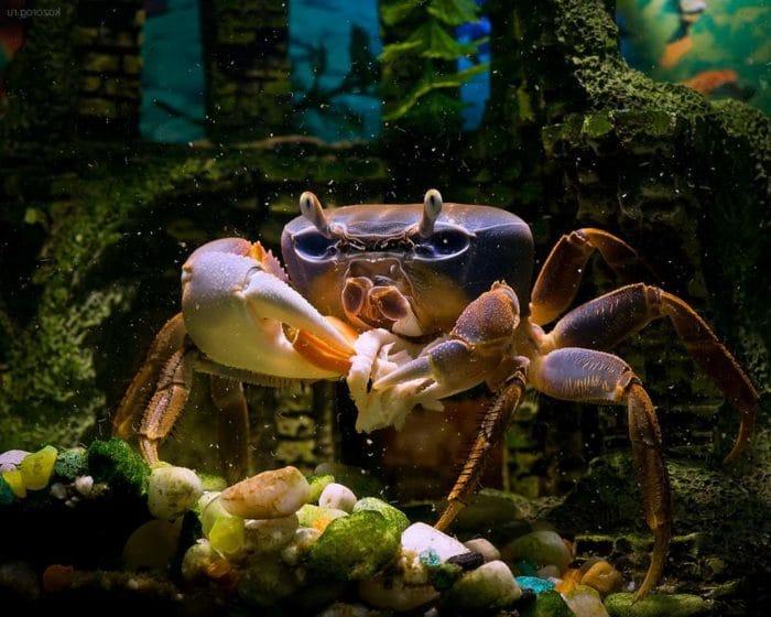 радужный краб в аквариуме