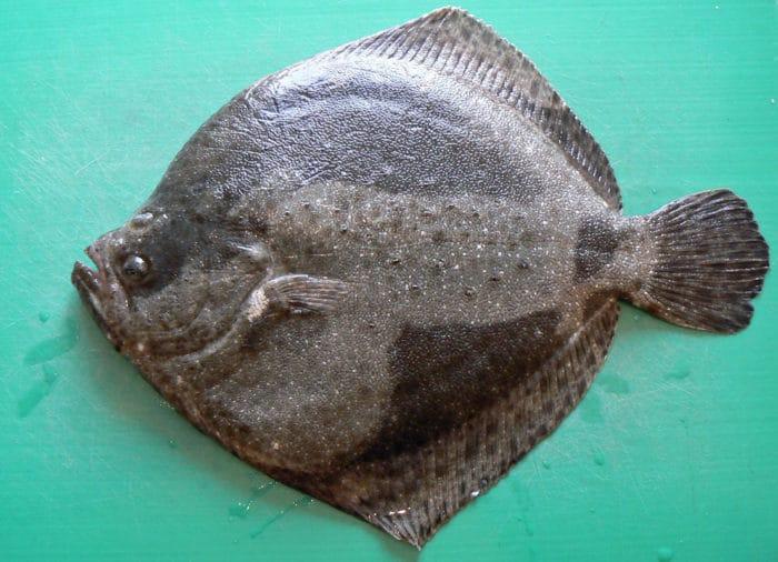 рыба семейства калкановых