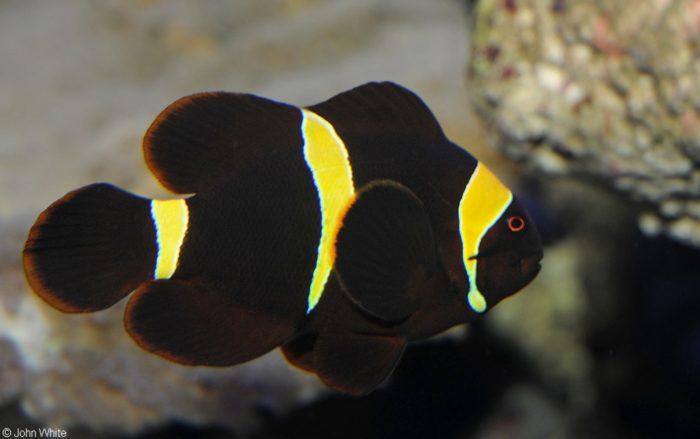 рыбы-клоуны черного цвета