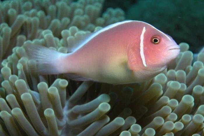 Розовые рыбы клоуны