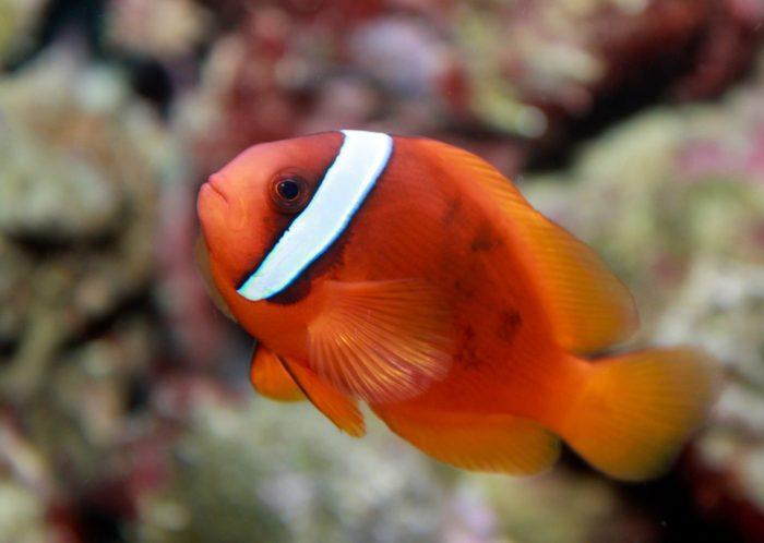 Седловидная рыба-клоун