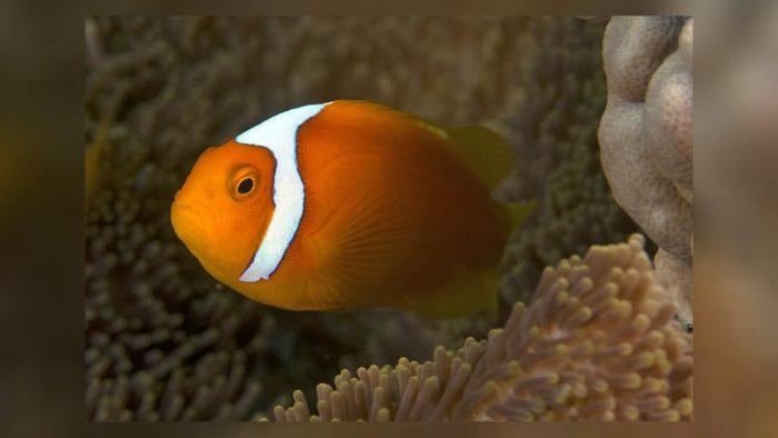 Белая шапочка на рыбе клоуне