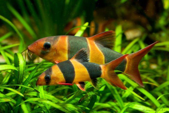 рыба-клоун с полосатой окраской