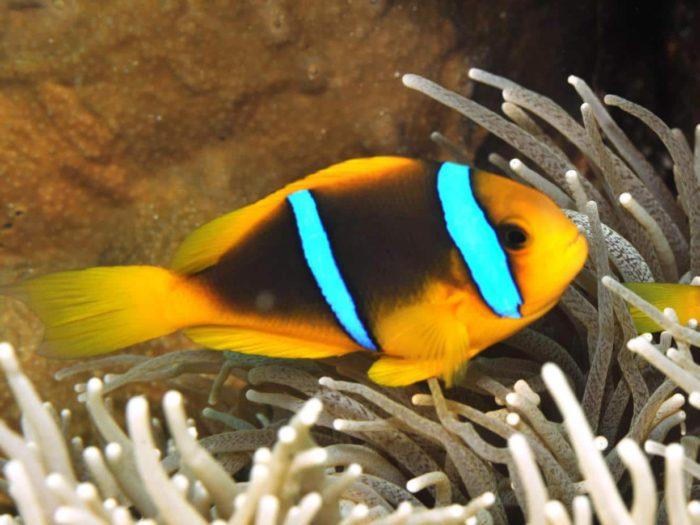 скунсовые рыбы клоуны