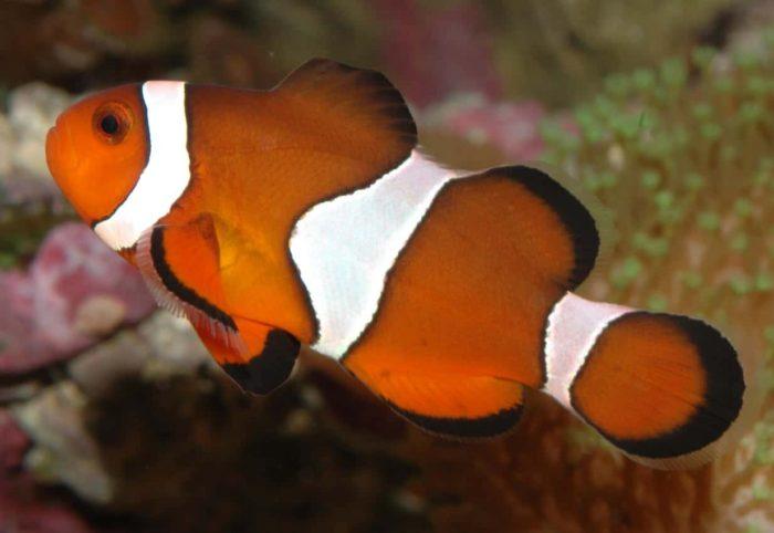 внешний вид рыбы клоуна