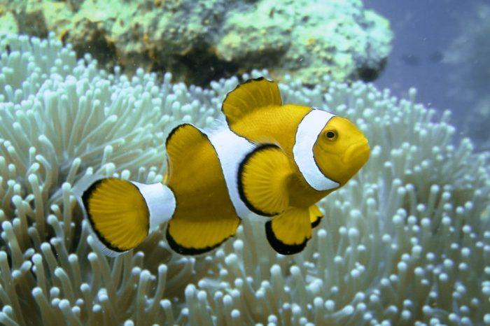 желтая рыбка клоун