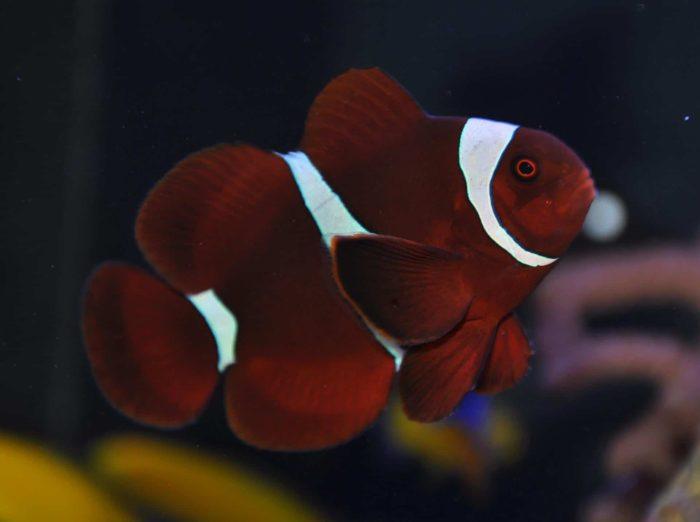 бордовые рыбы-клоуны
