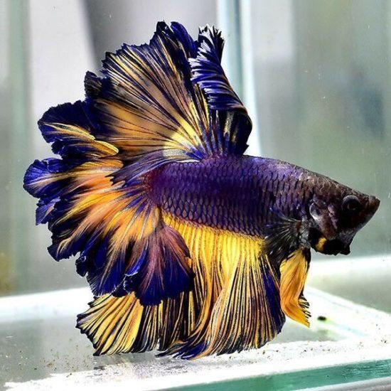 как выглядит аквариумный петушок