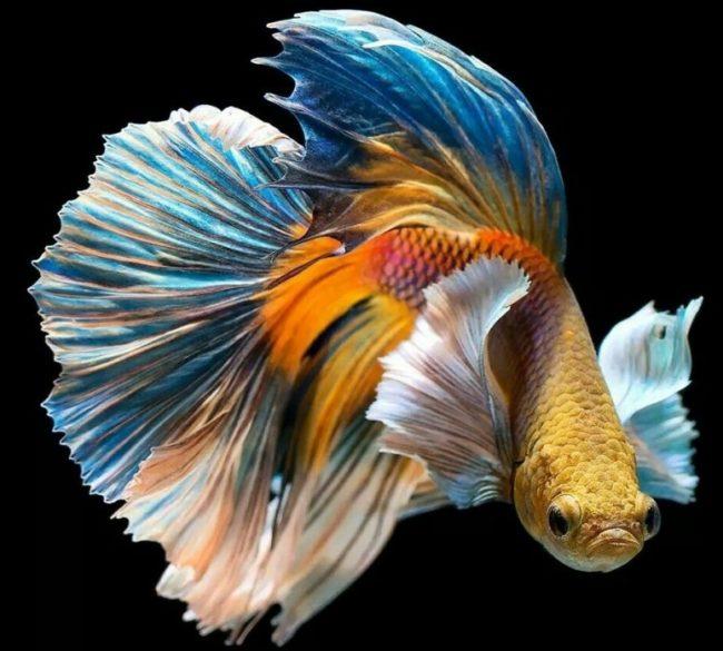 бойцовская рыбка петушок