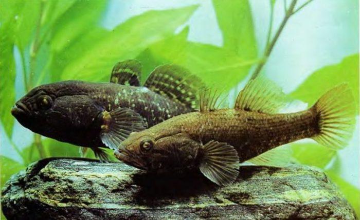 ротан может жить в аквариуме
