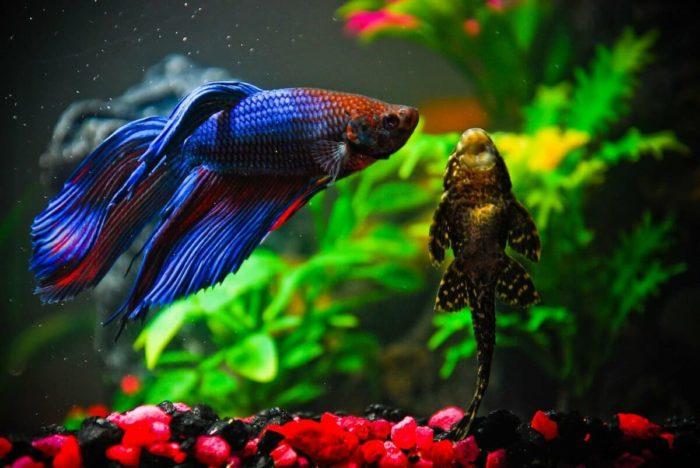 аквариумный петушок