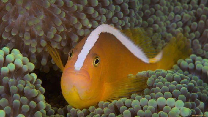 Пестроносые рыбы-клоуны