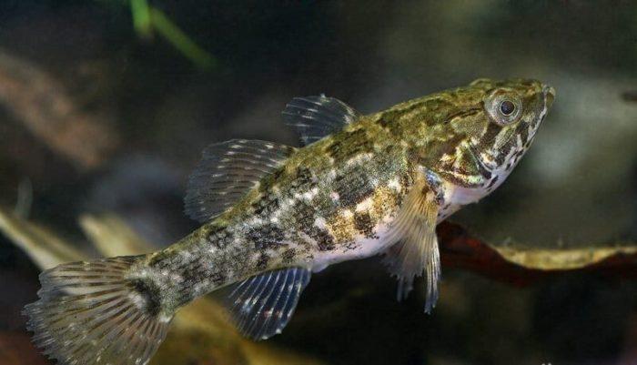 внешний вид рыбы ротан