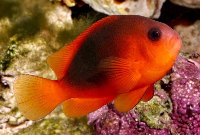 рыбы-клоуны огненного окраса