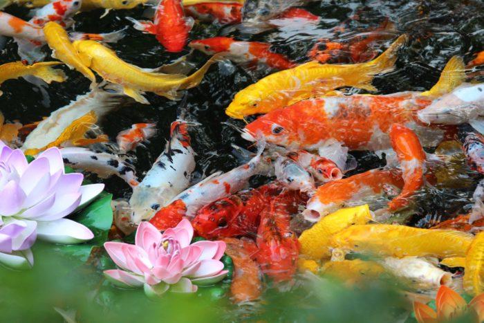 как ухаживать за кои в аквариуме