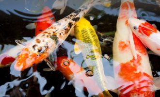 множество рыб кои