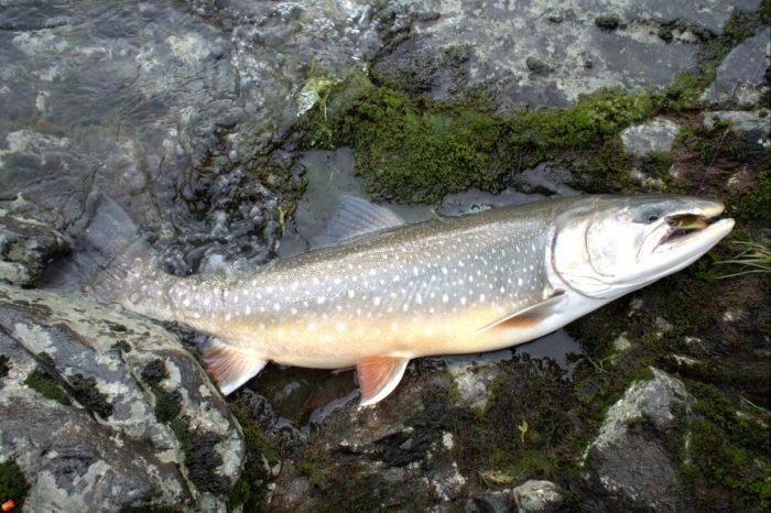 озерная форма рыбы голец