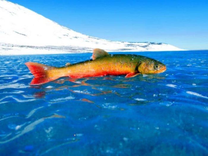 строение рыбы голец