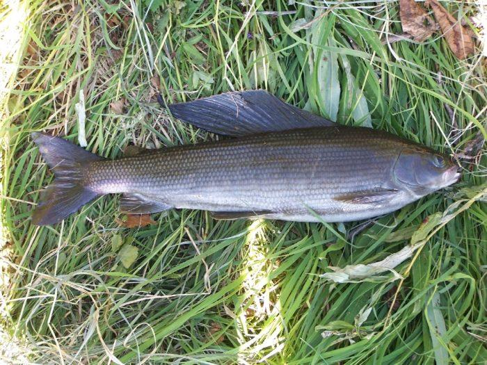 особенности строения рыбы хариус