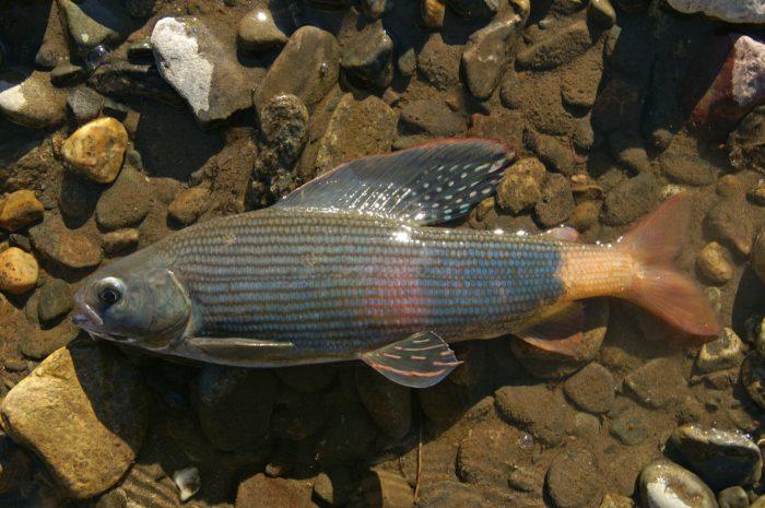 интересное строение рыбы хариус