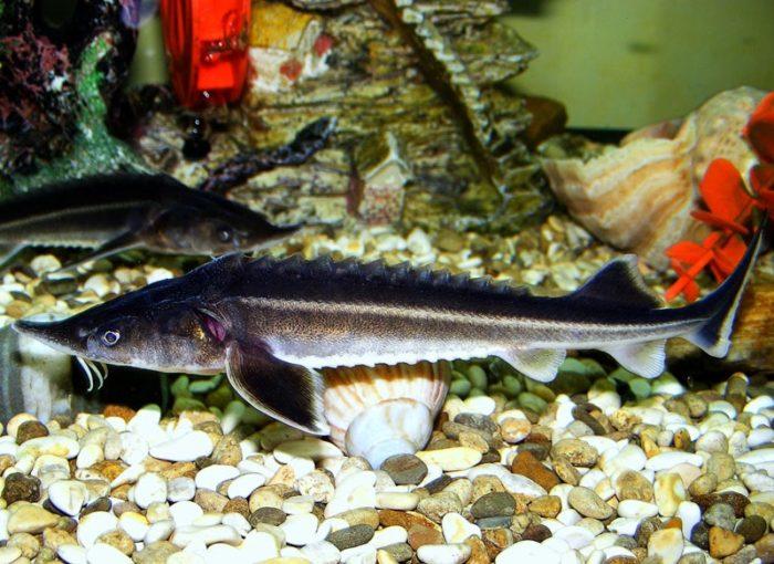 как выглядит рыба бестер