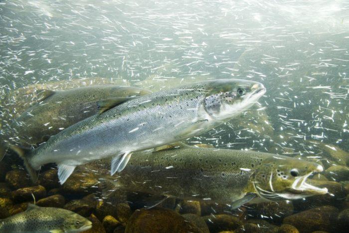 дальневосточный лосось