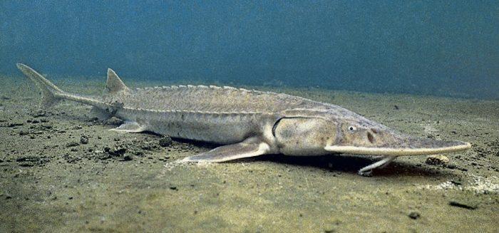 рыба лопатонос