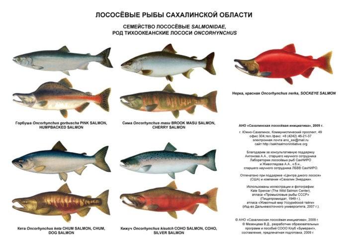 популярные лососевые рыбы