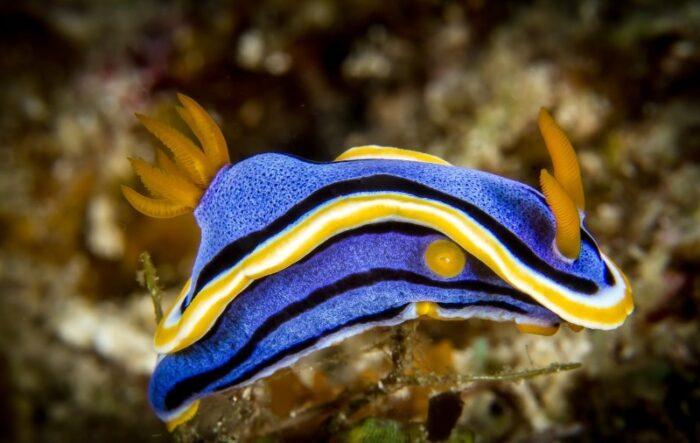 необычная рыба нудибранч