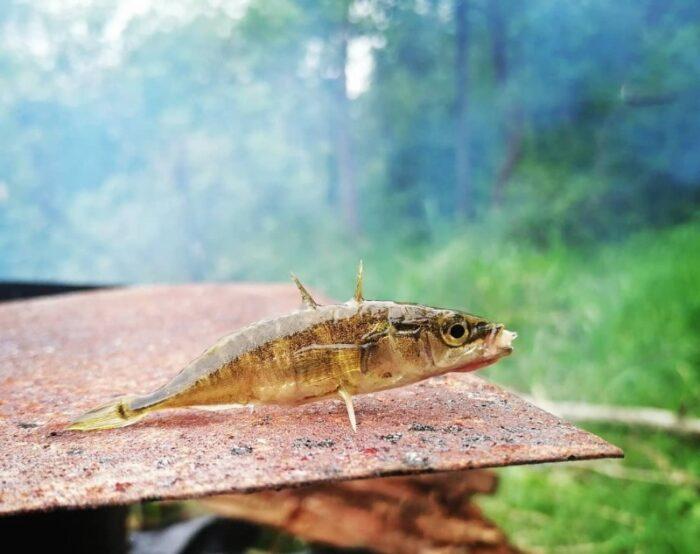 небольшая рыбка колюшка