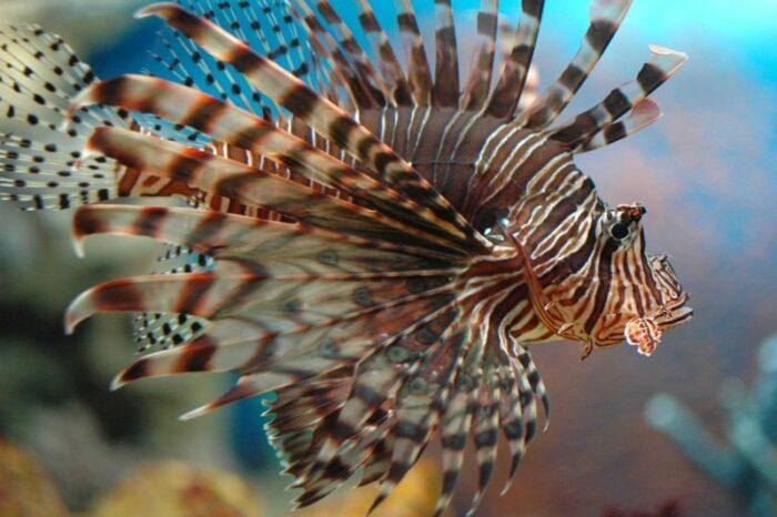 как выглядит лучистая крылатка