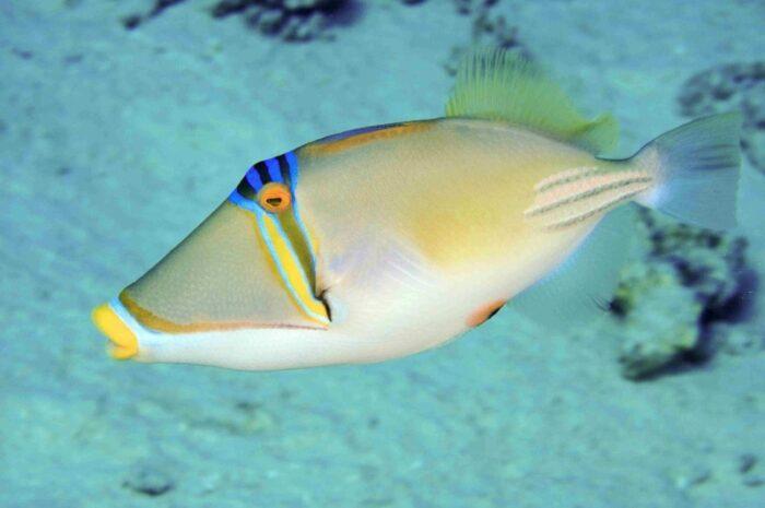 особенности строения рыбы триггер