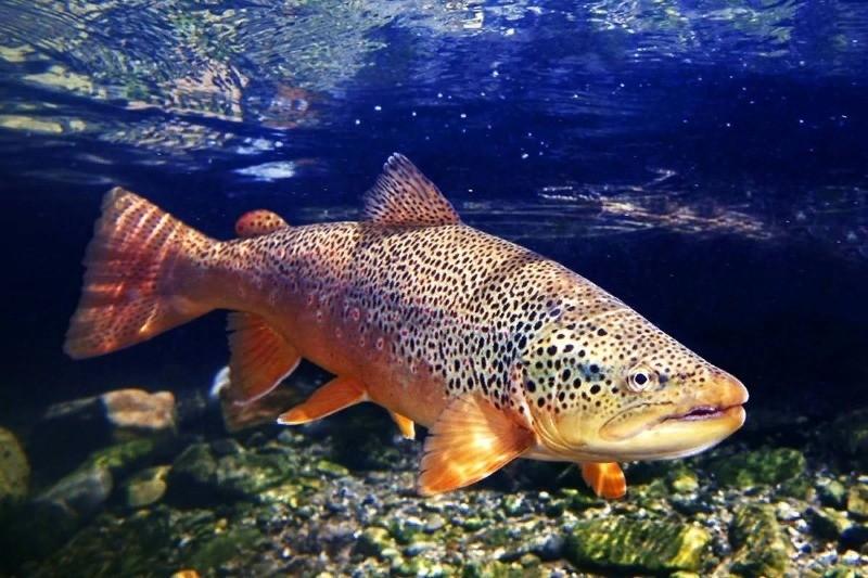 рыба кумжа из семейства лососевых